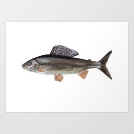 Grayling Art Print