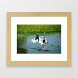 Australian Jabiru in a flap! Framed Art Print