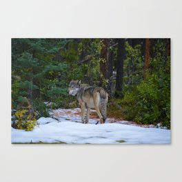 Wolf in Jasper National Park Canvas Print