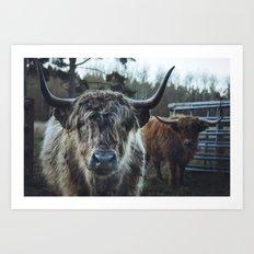 Closeup of Highland cattle cows. Norfolk, UK. Art Print