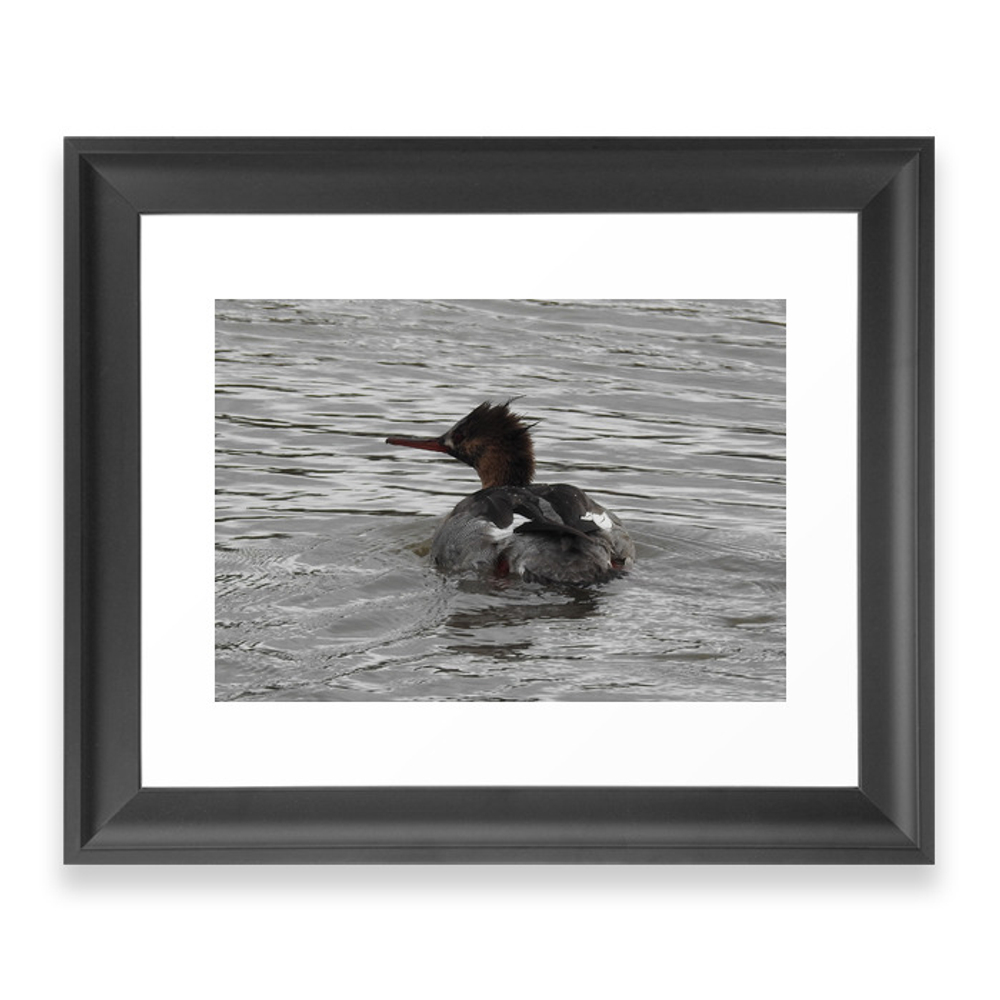 Red-Breasted Merganser Framed Art Print by evankiddphotography (FRM8884322) photo