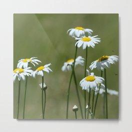 Cascade Daisy Flowers Blooming Metal Print