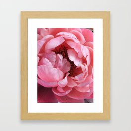 peony bloom Framed Art Print