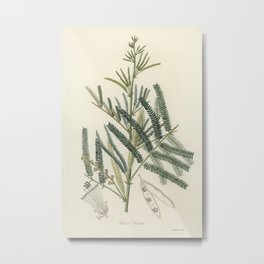 Mimosa catechu (Acacia catechu) illustration from Medical Botany (1836) by John Stephenson and James Metal Print