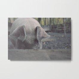 Pig in Oconaluftee Metal Print
