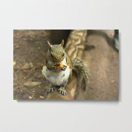 Munching Squirrel Metal Print