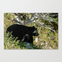 Black Bear On Watch Canvas Print