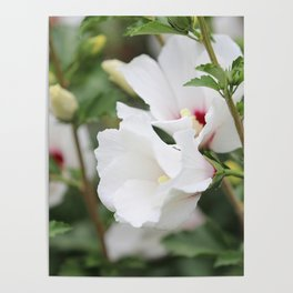 Rose of Sharon in July Poster