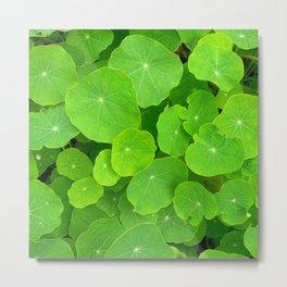 green nasturtium leafs Metal Print