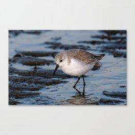 A Strolling Sanderling Canvas Print
