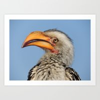 Hornbill from South Africa (2) Art Print