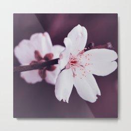 Cherry blossom flower close up Metal Print