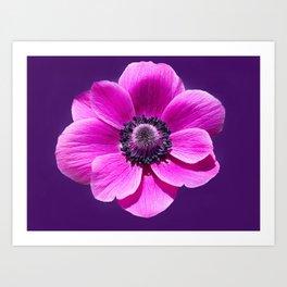 Anemone de Caen Flower Art Print