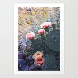 Cactus Flower Series: Pink Blossoms in Field of Gold Art Print