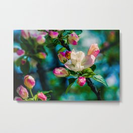 Crabapple flower and buds Metal Print