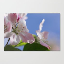 Apple Tree Blossoms InThe Blue Sky Canvas Print