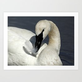 Trumpeter Swan Playing with Feather Art Print