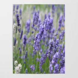 Lavender in field Poster