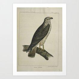 186 Buteo Cooperii California Hawk26 Art Print