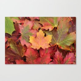 Yellow, green and red maple leaves Canvas Print