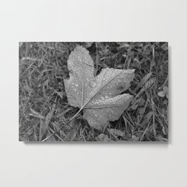 Water drops on leaf maple, black and white photo Metal Print
