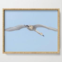 Mute Swan in flight blue sky (Cygnus olor) Serving Tray