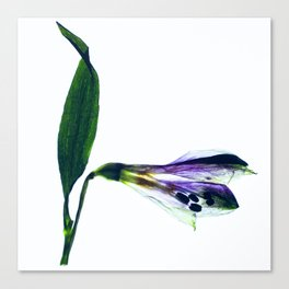 Lily of the Inca I Canvas Print