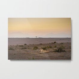 Single lioness relaxes while African sun sets Metal Print