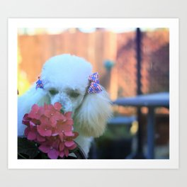 Toy Poodle in the garden Art Print