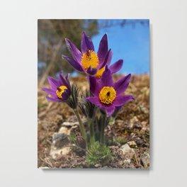 common pasque flower Metal Print