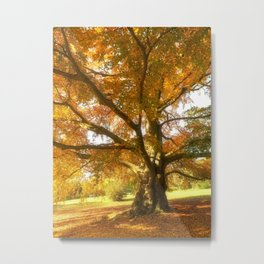 Copper Beech in Autumn Colours Metal Print