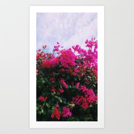California Pink Bougainvillea Art Print
