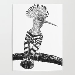 Hoopoe drawing Poster