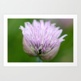 Chive Blossom and Hidden Fly Art Print