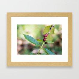 Coffee Plant Framed Art Print