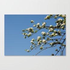 Apfelblüten  Canvas Print