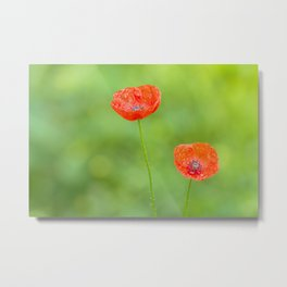 Two red poppies with water drops Metal Print