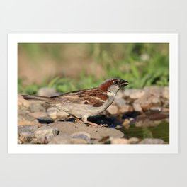 sparrow ready to drink water, but is cautious Art Print