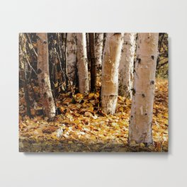 Forest Light Birch Trees in Fall, Creamers Field, Fairbanks Alaska Metal Print