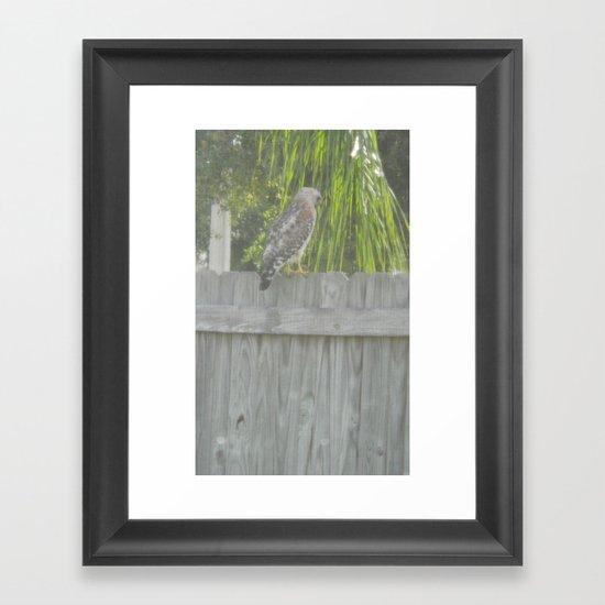 Falcon gazing Framed Art Print