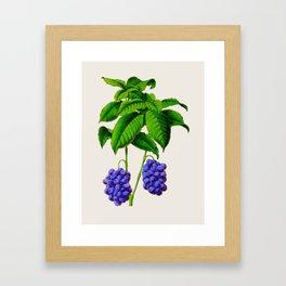 Vintage Scientific Plant Illustration Large Blueberries Hand Drawn Historic Art Framed Art Print