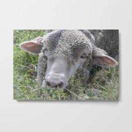 Sheepin Around Metal Print