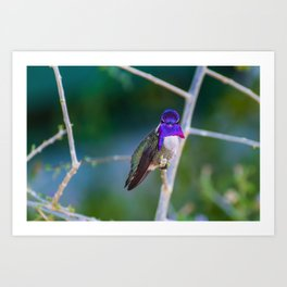 Male Costa's Hummingbird Art Print