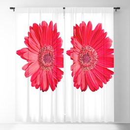 isolated red gerbera daisy on white Blackout Curtain
