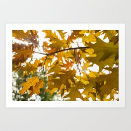 Golden oak leaves Art Print