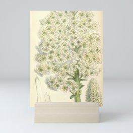 Flower 5889 saxifraga aizoonia longifolia1 Mini Art Print