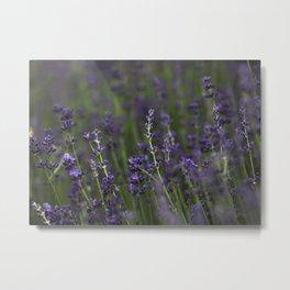Lavender Buds Metal Print