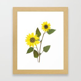 Sunflower. Helianthus annus. Framed Art Print