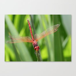 Closeup of Red Skimmer or Firecracker Dragonfly Canvas Print