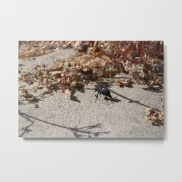 Black Blister Beetle... Metal Print